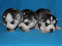 5 lovable purebred Siberian huskies. 3 females and 2