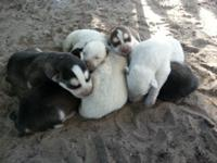 We have 6 siberian husky AKC young puppies for sale.
