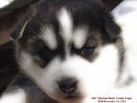 Cute AKC Siberian Husky Puppies. Our huskies are AKC