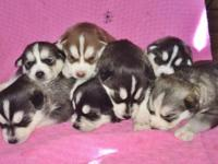 I have 6 AKC Siberian Husky puppies who will be