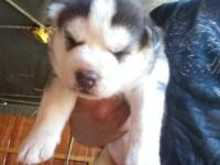 WE HAVE AKC SIBERIAN HUSKY PUPPIES, MALES AND FEMALES