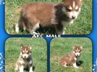 I have 5 males and 1 female Siberian husky puppies