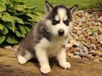 Animal Type: Dogs Breed: Siberian Husky Siberian Husky