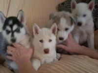 two all white akc siberian husky puppies blue eyes one