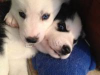 These AKC registered Siberian Husky puppies have a