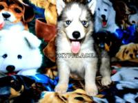 All of my pure breed Siberian Huskies puppies are