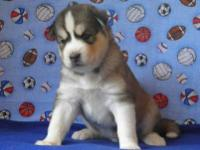Siberian Husky puppies, AKC registered. Three gorgeous