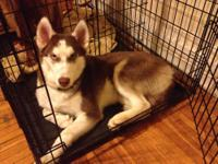 AKC Siberian Husky Puppies Black and White and Red and