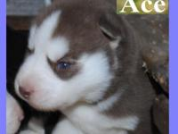 *** AKC Siberian Husky puppies *** We have 3 males & &
