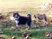 We have beautiful male and female puppies available.