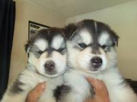 AKC Siberian Husky Puppies for Sale. Born on June 8,