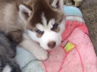 Two beautiful female Siberian Husky puppies from