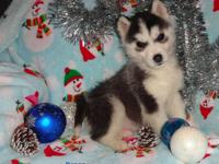 AKC registered Siberian husky puppies We have one girl