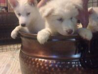 Hello, I have 4 Siberian Husky puppies born July 5,