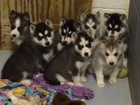 AKC Siberian husky puppies, taking deposits now! They