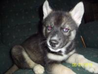We have a gorgeous 5 month old Siberian Husky puppy