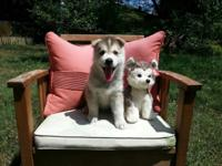 This is a purebred AKC registered Siberian husky puppy.