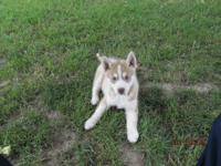 I have one female AKC and CKC reg. Siberian husky