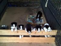 INDEPENDENCE DAY PUPPIES Beautiful purebred puppies, a