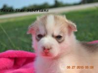 I have one female puppy. She is a light red and white