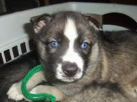 Last AKC Siberian Husky Puppy available, Agouti & White