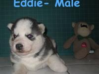 Last one left. Black white blue eyed male. Ready to go
