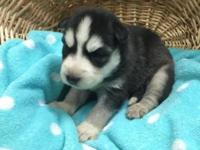 This is Balto a little puppy boy. He is Black and