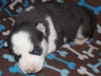 AKC Siberian Husky Female Black & & White Ready May