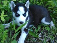 AKC Siberian Husky Female Black & & White with blue