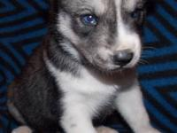 Wolf grey and white female with blue eyes (other pups
