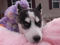 Georigia is a beautiful blue-eyed AKC Siberian Husky