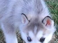 AKC Siberian husky gray/white, bi-eyed, female, ready