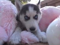 LouAnn is a beautiful AKC Siberian Husky puppy born