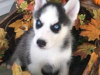 This black/white male young puppy has striking blue