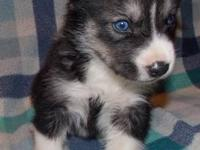 Wolf grey and white male with blue eyes (other pups