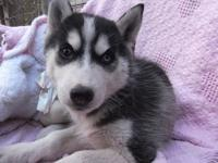 Reba is the most beautiful AKC Siberian Husky Puppy.
