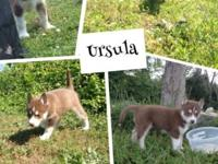 I have 1 Red and White Siberian Husky puppy left in