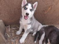 Toby is a beautiful AKC Siberain Husky new puppy. He's