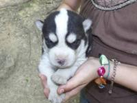 I have two AKC registered siberian husky pups that will