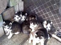 AKC SIBERIAN HUSKY PUPS, 5 MALE 2 FEMALE, BLACK &