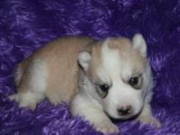 ACCEPTING DEPOSITS ON SIBERIAN HUSKY PUPS . AKC REG ,