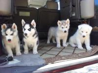 AKC Siberian Husky Pups- B-day 5/9/14- Deposits.