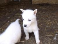 we have akc siberian husky puppies for sale we have 2