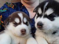 AKC Siberian Husky Puppies!! B-day 6/18/15- 2