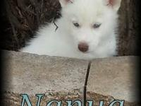 I have 4 out of 9 beautiful all white AKC Siberian pups