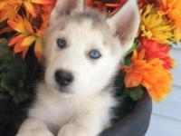 AKC silver/white male with striking light blue eyes! He