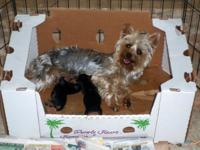 AKC Silky terrier male looking for a new home. He will
