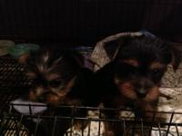 I have 3 eight week old AKC registered Silky Terriers.