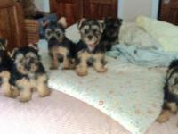Beautiful Silky Terrier Puppies!!! AKC purebred, born