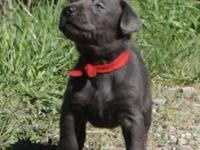 AKC Labradors - Silver and Charcoal puppies (6 Weeks
